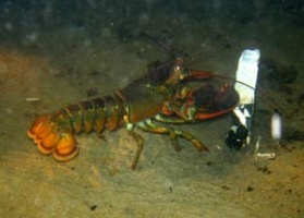 8 Lobster Eating Razer Clam
